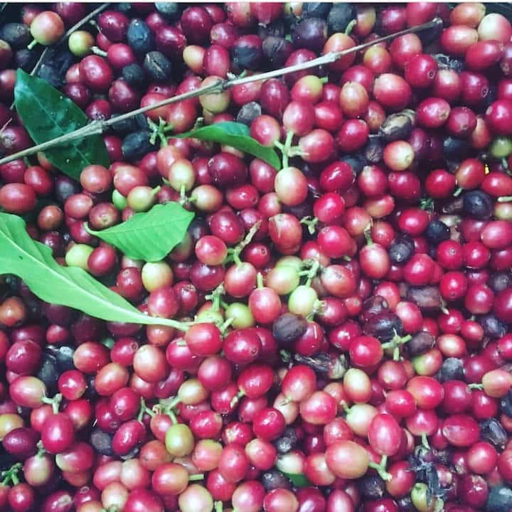 "Ripe coffee ""cherry"" freshly harvested"
