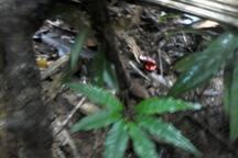 Rana cocuy (roja con negra). muy hermosa gentil y peligrosa.