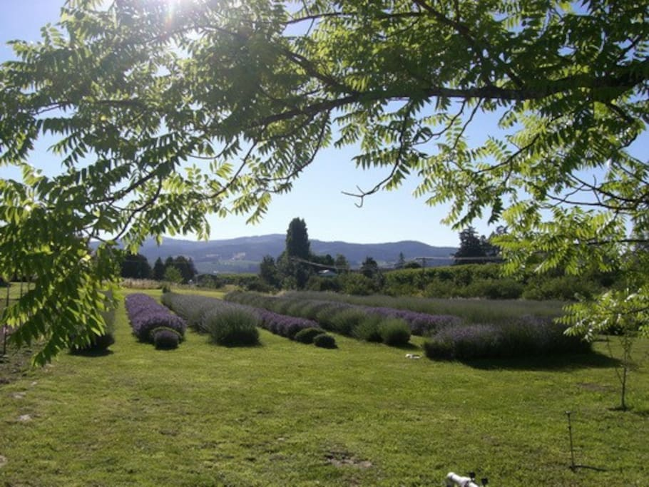 Great view of the lavender field- under the walnut tree