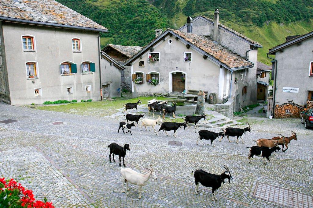Tägliches Eintreffen der Ziegen nach 18 Uhr; Blick vom Balkon der Wohnung Jrene aus.