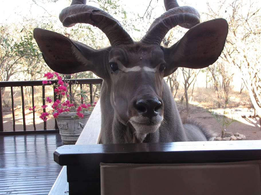 Kudu bull saying hello to guests on the deck!