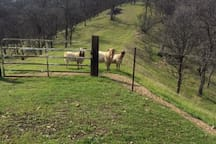 We have four goats that are fenced.