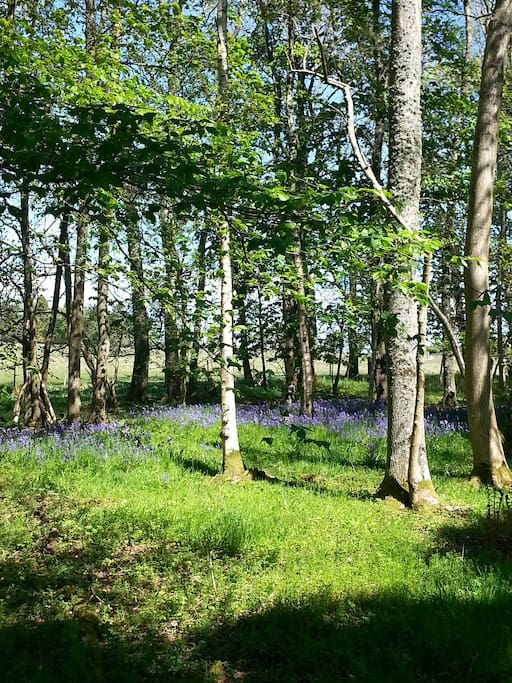 Bluebell wood at Longformacus