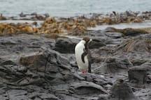 Yellow eyed Penguin at Curio Bay.