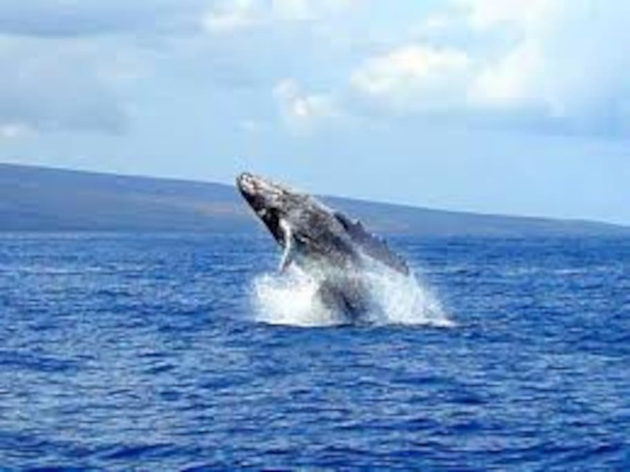 Whales swimming right outside your beachfront lanai.