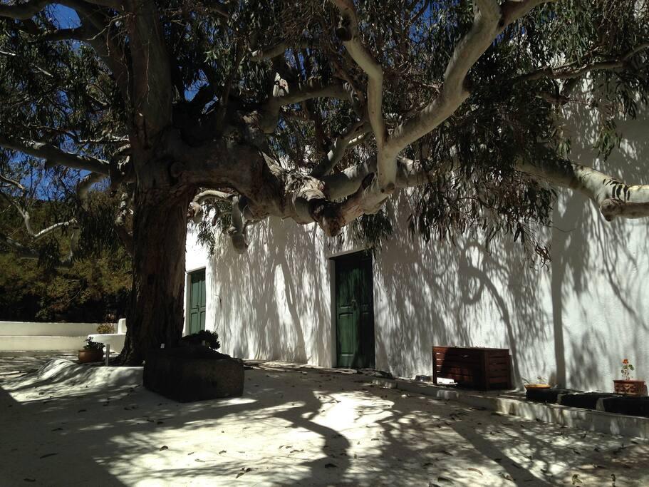 Patio (Innenhof) mit wunderschñnem hundert Jahre altem Eukalyptusbaum