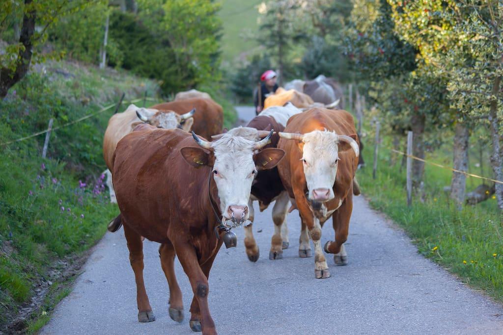 Kühe dierekt am Hof