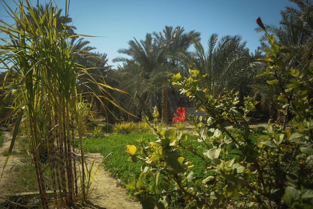 Hibiscus, sugarcane, date palms and clover.