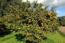 Arancio - Orange tree