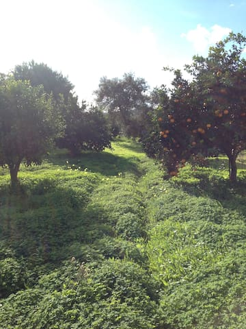 Aranceto - Orange treee