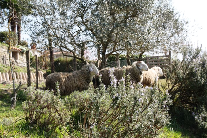 Istria Country Apartments with pool garden sheep