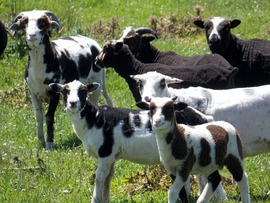 Visit the Arapawa sheep flock.