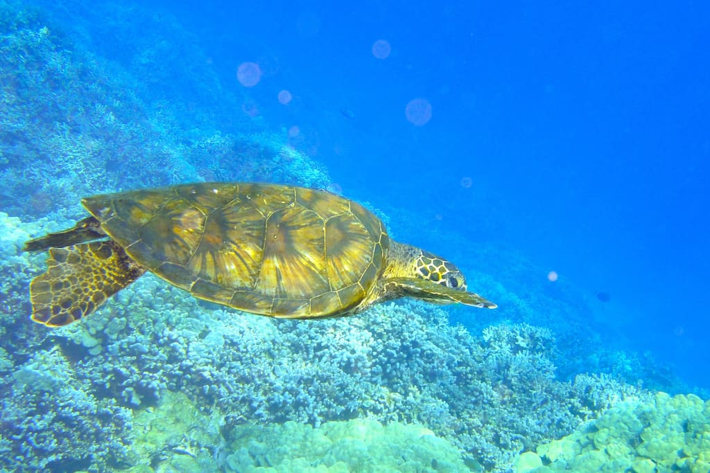 Green Sea Turtle on reefs in front of condo