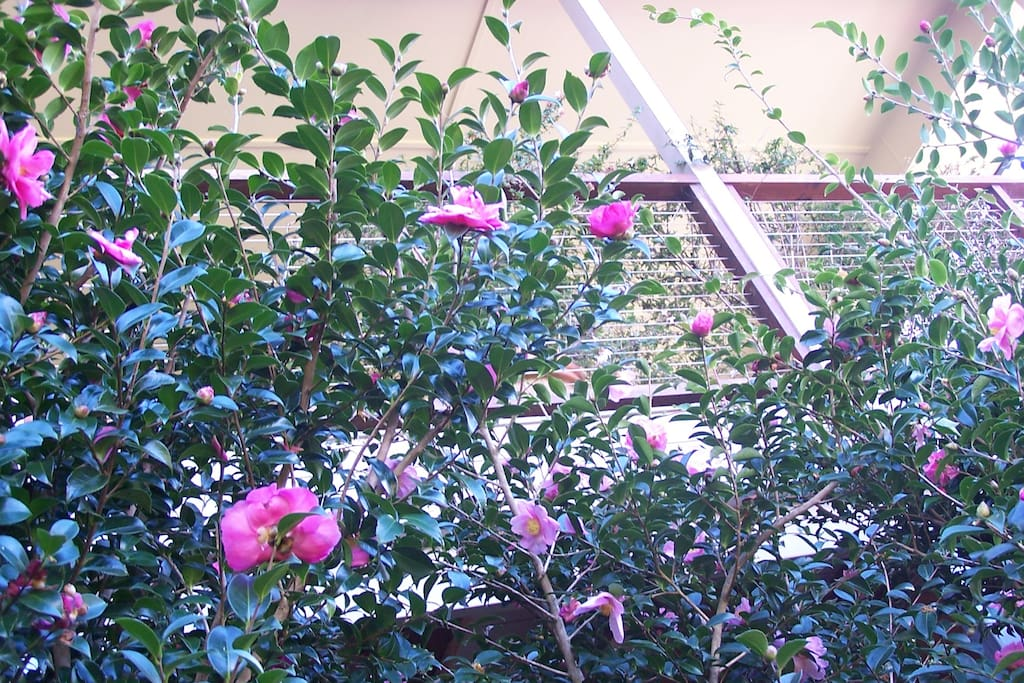 camellias in full bloom are a spectacular sight