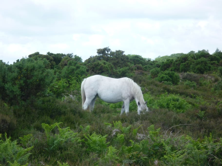Ponies roam freely around the New Forest.