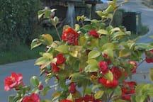 camelio en flor del jardin