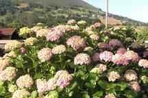 Las hortensias junto al hórreo