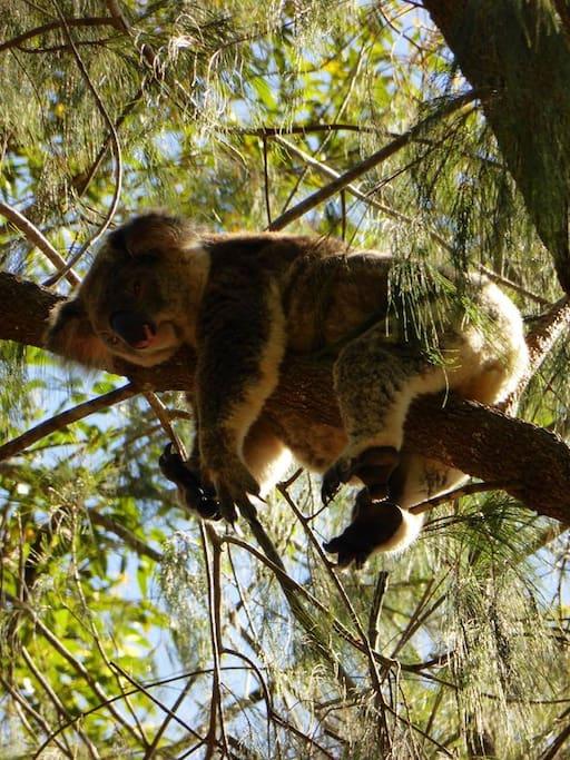 Thus is Koko the Koala