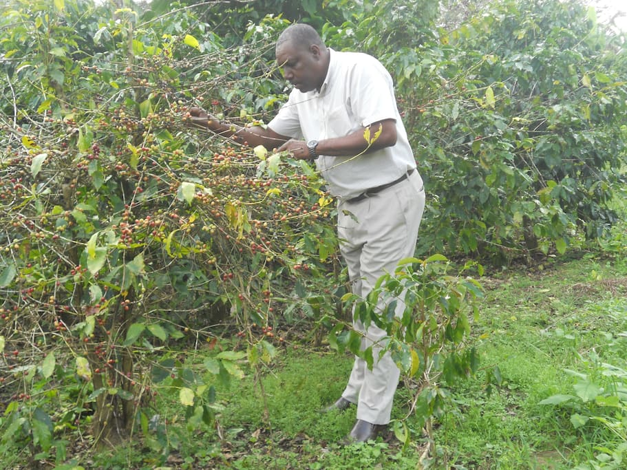 My husband Richard, examining matured coffee beans on the Baron Hall Estate in Clarendon. Come, lets take you there for a tour!!!