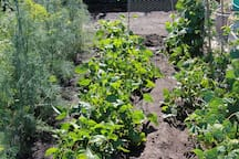 A picture of our garden this summer.  The beans are now ready for picking!