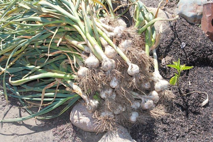 Our garlic harvest.