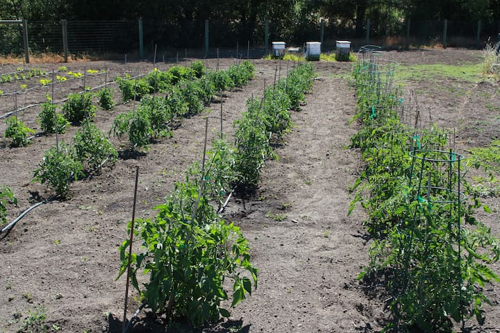 60 Heirloom Tomato Plants in the back field, plus our three bee hives in the background.