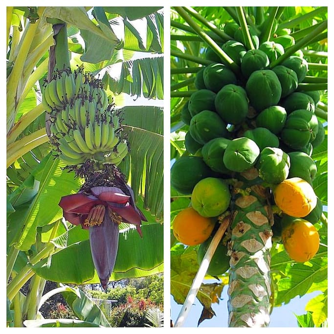 Banana and Papaya fresh from our Garden - Please help yourself :-)