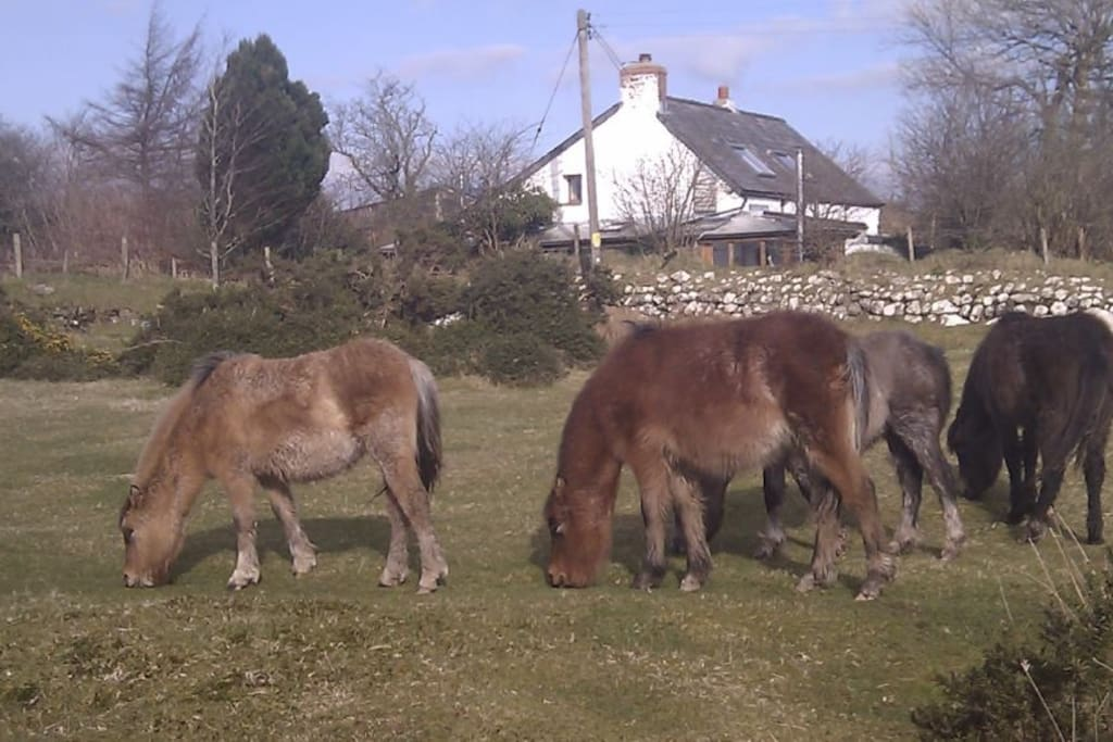 Wild ponies often seen grazing right by the cottages...