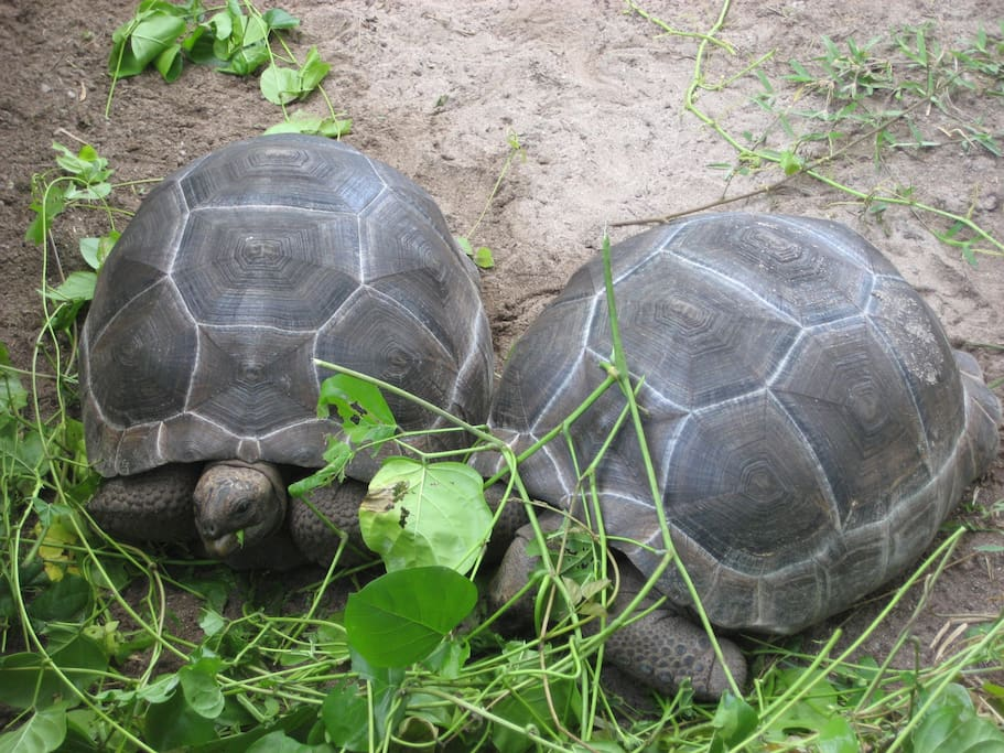 Our giant tortoises