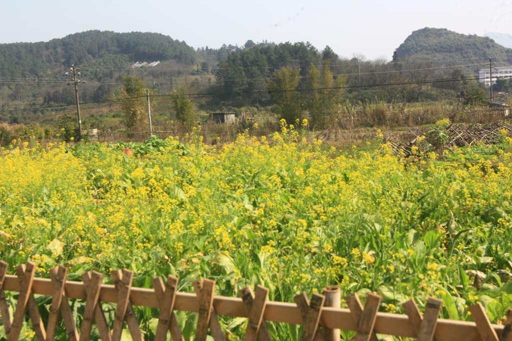前院的油菜花