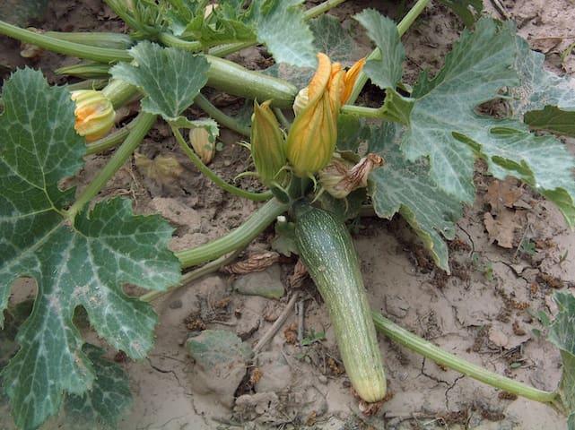 Zucchini from our kitchen garden