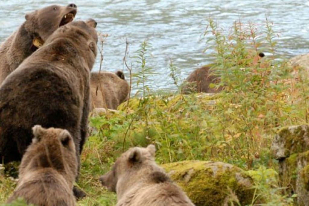 Bears on the Chilkoot River
