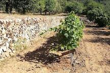 Les vignes du jardin