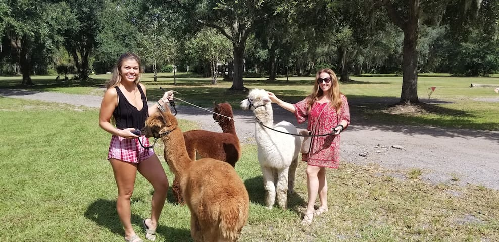 Walking the  Alpaca