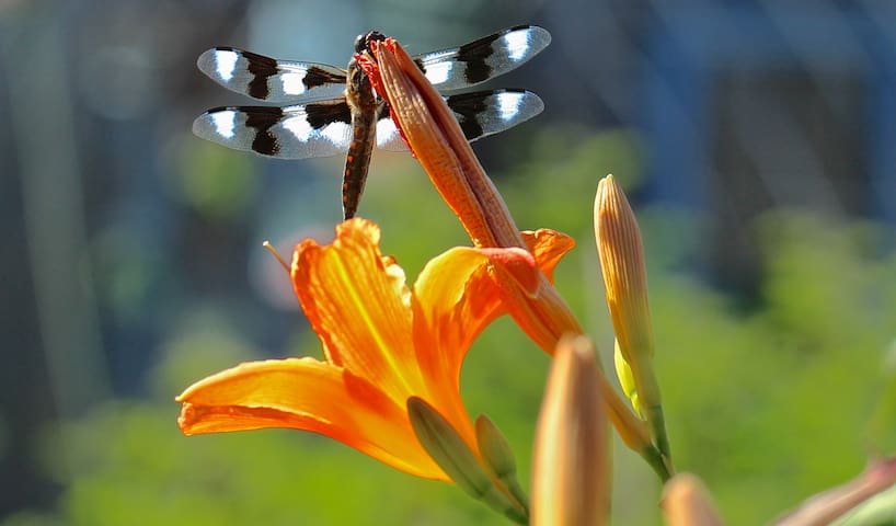 We have a lot of dragonflies visit us all summer.