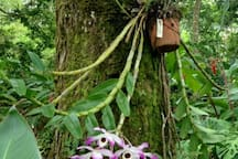 Trees of the tropical garden are laden with orchids.
