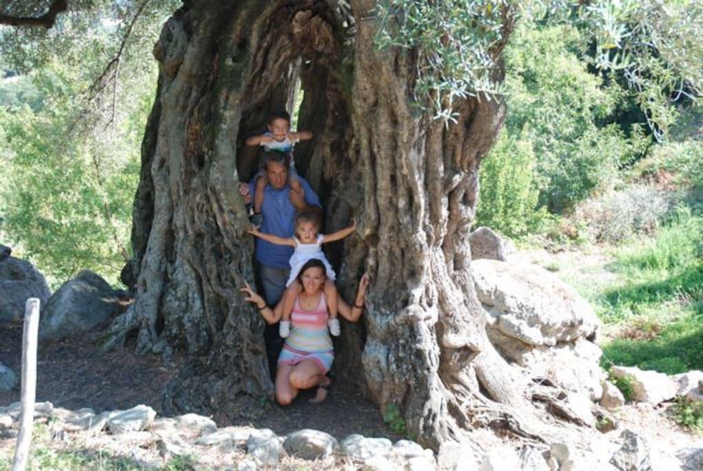 oliviers millénaires dans la propriété de 3 hectares