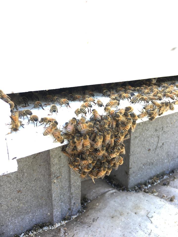 "Honey bees ""bearding"""