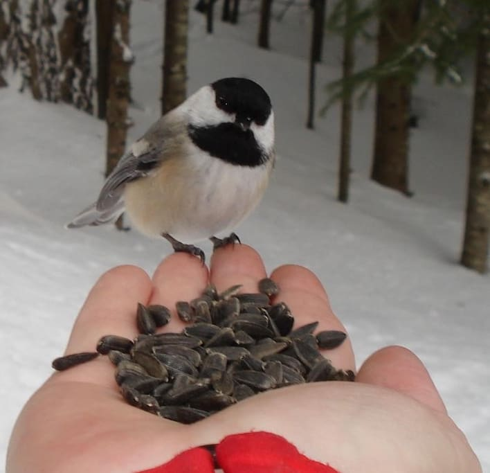 Cute little chickadees land right in your hand! (winter is when you are most likely to hand-feed a chickadee)