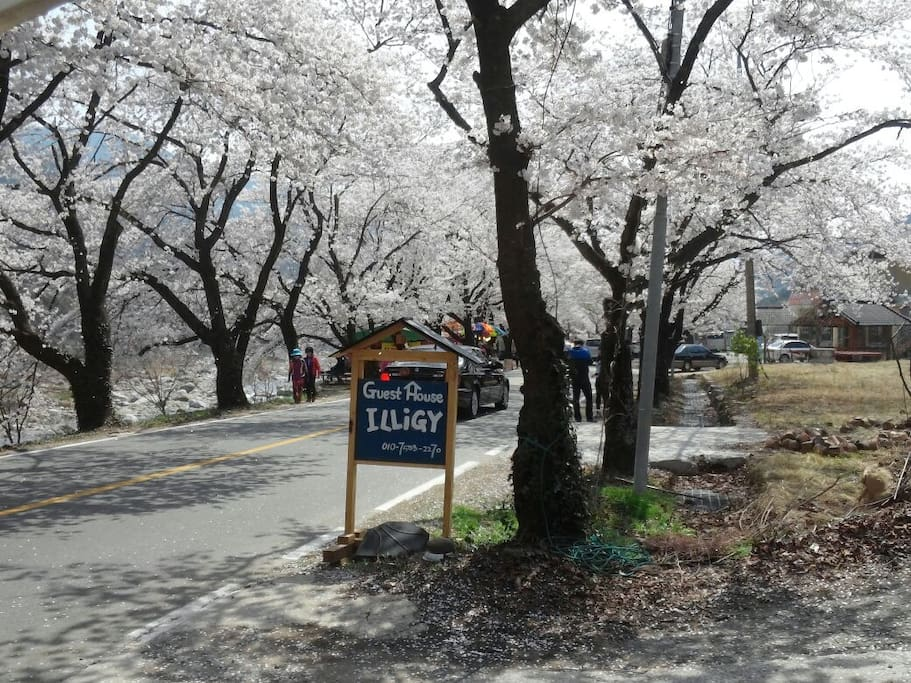 Cherry blossom road in front of ILLiGY