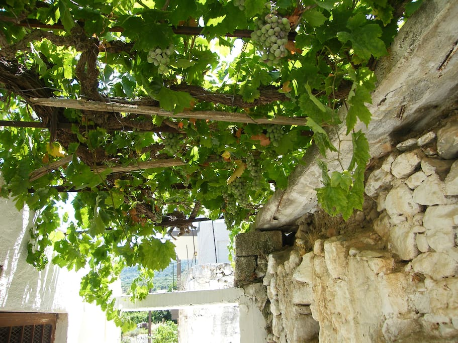 Grapes on the vine leading to the house