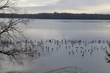 Here are hundreds of geese walking on the newly formed ice.  Stay in November and December(before the lake freezes over) and be immersed into an amazing display of geese and swans.