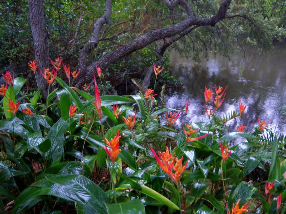 Heliconia's on my Bayou!