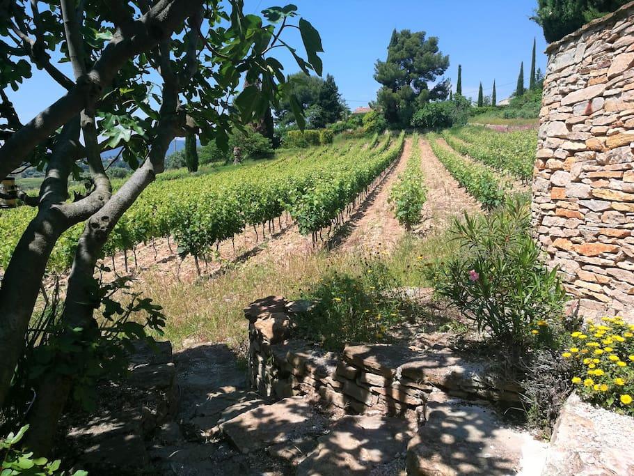 une partie des vignes entourant la villa