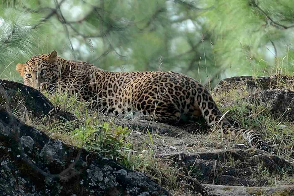 Resident leopard 'Bheem' comes by Tanhau rather frequently, though usually at night