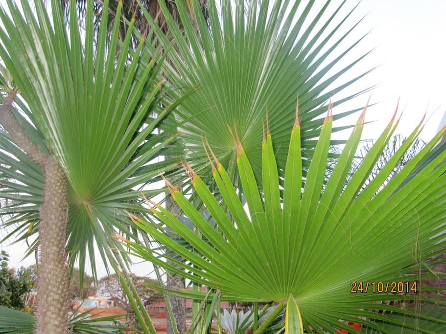 Variété de palmiers