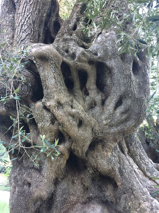 so many gorgeous old olive trees!