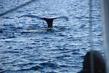 Whale safari, taken from the Tour boat we cooperate with. Photo: Artic Cruise in Norway.