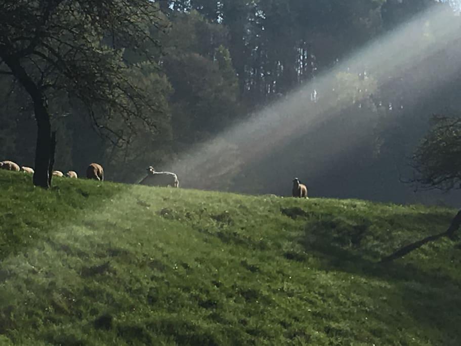 Schafweide - Sheep run