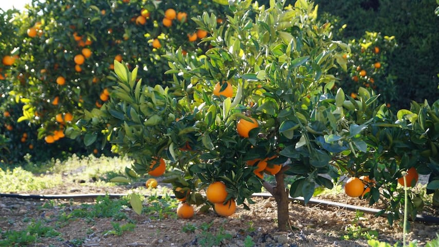 Enjoy freshly-squeezed orange juice from our orchard. Sunshine in a glass!